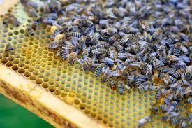 city hall favours backyard beekeeping seeks public u0027s feedback