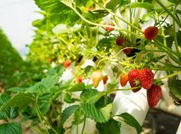 Strawberry Plant Diseases - 8 8m awarded to support innovation in us strawberry production