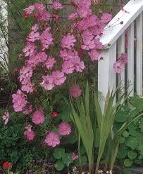 old fashioned annuals fine gardening