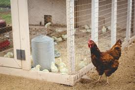 Raising Meat Chickens Your Backyard by Raising Meat Chickens How We Grew A Year U0027s Supply Weed U0027em U0026 Reap