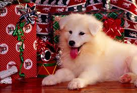 samoyed puppy laying by presents facing