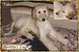 afghan hound puppies california afghan hound precious puppy pictures photos show dog beautiful