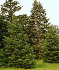 fir the morton arboretum