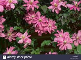 clematis montana broughton a pink flowered climbing