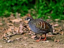 see see partridge ammoperdix griseogularis google search birds