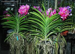 vanda orchids vanda orchids in