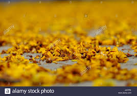 Make Beautiful by Yellow Flower Petals On Floor Fall By Faded Flowers Make Beautiful