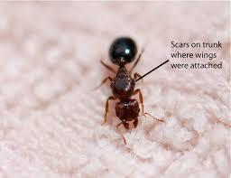 queen ant u2013 wild ants