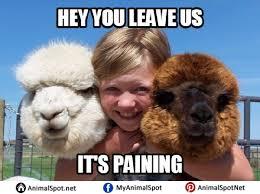 Alpaca Memes - alpaca memes