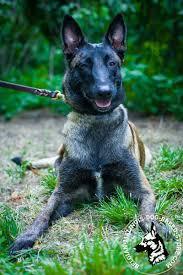 belgian shepherd vs husky get belgian malinois leather dog collar