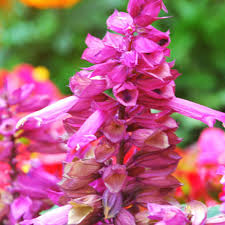 salvia flower pink salvia splendens ornamental flower seeds seeds