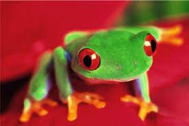 eyed tree frog wildlife learning center