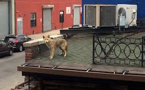 Dog On A Roof How Did A Coyote End Up On A Roof In New York City