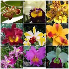 Orchid Plants Orchid Ebay