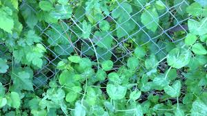 how to support peas on a chain link fence update 3 youtube