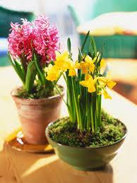 flowering bulbs for winter hgtv