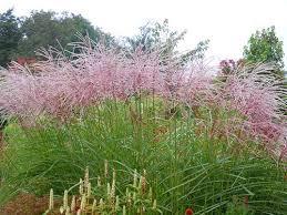 ornamental grasses plant fair