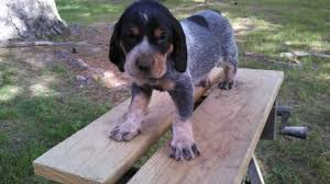 bluetick coonhound sale reynolds forestry consulting quality timber management in