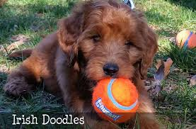 goldendoodle puppy virginia goldendoodle puppies doodles and bernedoodles by mckenzies
