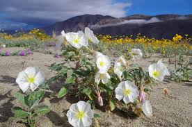 anza borrego wildflowers mid march may be the sweet spot for spectacular wildflowers in