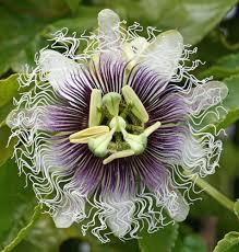 flower fruit flower vine frederick edible purple fruit