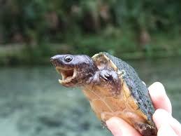 Texas Map Turtle Projects Turtle Survival Alliance Tsa