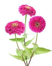 Zinnia Flower Pink Zinnia Flower Stock Photography Image 35215912