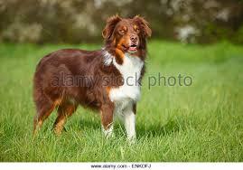 t r australian shepherds australian shepherd dog standing stock photos u0026 australian