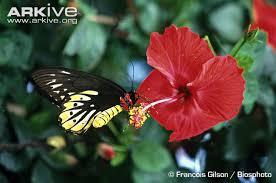 alexandra s birdwing photos and facts ornithoptera