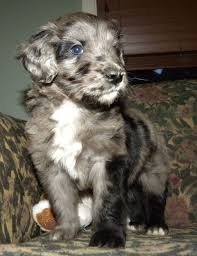 australian shepherd and poodle about aussiedoodles u2013 aussiedoodle puppies for sale aussiedoodle