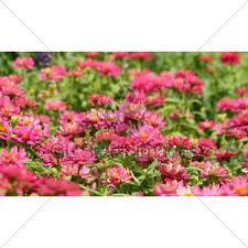 pink zinnia flower gl stock images