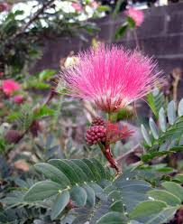 Pom Trees Pom Pom Tree Gardens And Landscapings Decoration