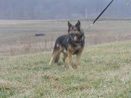 belgian sheepdog breeders pa ben ddr lines german shepherd puppy for sale in dundee oh