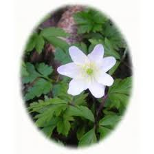 anemone plant wood anemone rhizomes anemone nemorosa from wildflowers uk