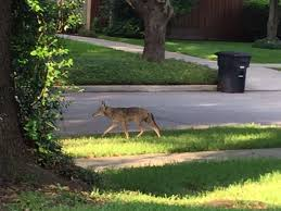 Coyote In My Backyard Coyotes Never Far Away In Houston May Be Roaming More After