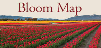 skagit valley tulip festival bloom map tulip bloom map my