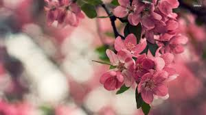 cherry blossoms yahoo image search results trees pinterest