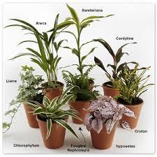 plante d駱olluante bureau les plantes en pot d intérieur pas vraiment dépolluantes