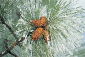 does a pine tree reproduce with flowers home guides sf gate