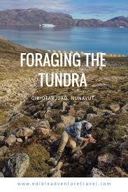 www edible qikiqtarjuaq foraging the tundra edible adventure travel