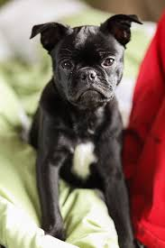 pug x boxer dog frenchie pug dog breed information pictures u0026 more