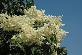 snowdance japanese tree lilac syringa reticulata snowdance in