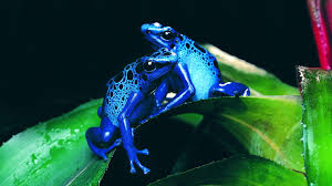 animal blue frog widescreen high definition wallpaper for
