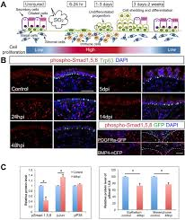 Tissue Renewal Regeneration And Repair Bmp Signaling And Cellular Dynamics During Regeneration Of Airway