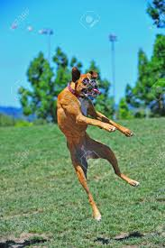boxer dog female a female brindle boxer dog at play in the park leaps to catch