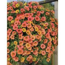 petunia plants thompson u0026 morgan
