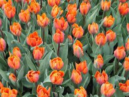 orange tulips field free image peakpx