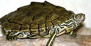 map turtle freshmarine com cagle s map turtle graptemys caglei buy