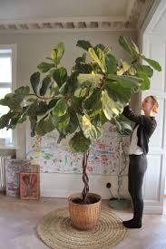 indoor trees that don t need light stunning best indoor tree ideas decoration design ideas ibmeye com
