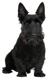 scottish terrier cards birthday thank you holidays more